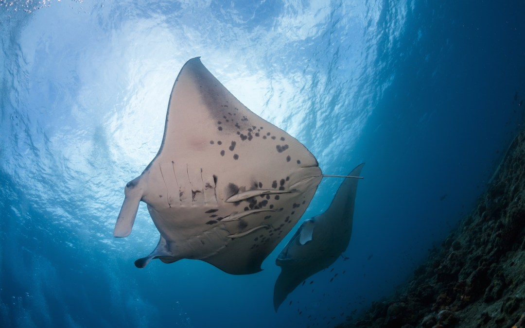 Manta Rays Protected in Maldives