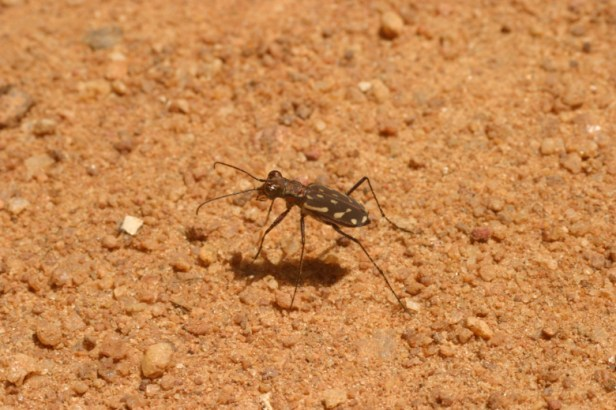 Tiger Beetle 2