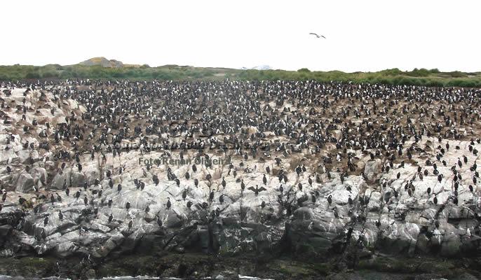 Cruzeiro pela Patagonia, pinguineira