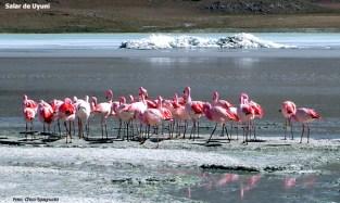 Flamingos, no Salar de Uyuni, altiplano, Bolívia