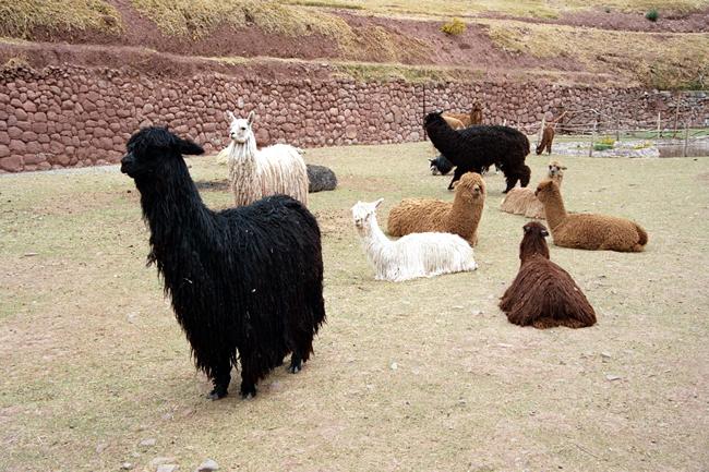 Lhamas no Vale Sagrado, Peru