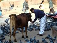 Vaca sagrada em Katmandu