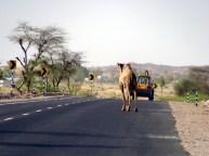 Estrada no Rajastão, Índia: os camelos na pista são um perigo