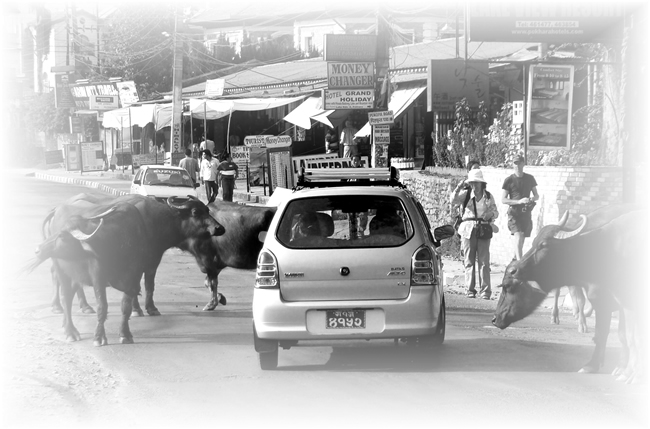 Búfalos na estrada, em Pokhara. Nepal