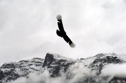 Condor no Vale do Colca, Peru