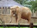 Elefante no Jardim Zoológico de São Paulo