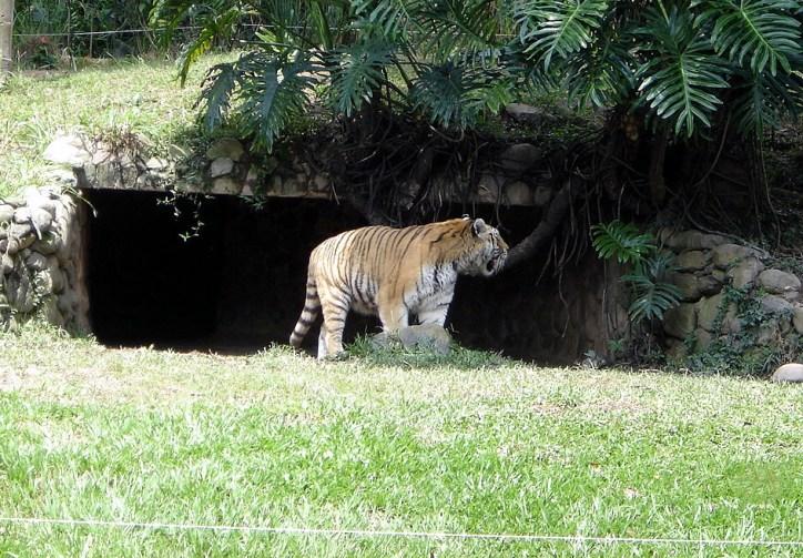 Tigre, no Jardim Zoológico de São Paulo