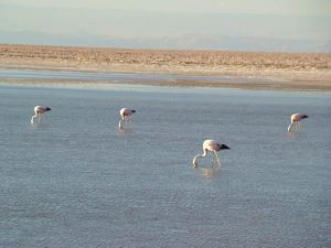 Flamingos rosados, deserto do Atacama