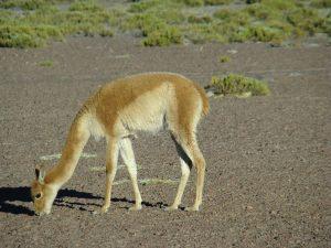 Vicunha, Deserto de Atacama, Chile
