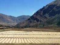 Colheita de milho em Pisac