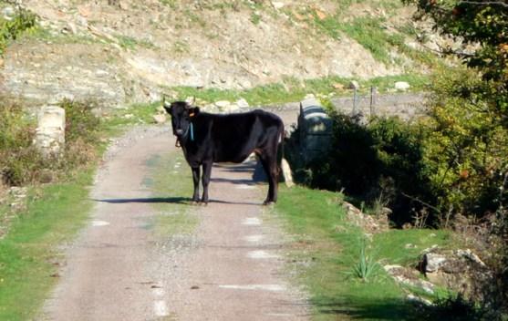 De Calvi a St-Laurent, a vaca na estrada