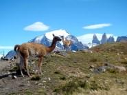 Guanaco em Torres del Paine, Chile