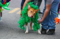 This dog's owner stepped out of the parade to buy a green boa to go around his dog's collar. Photo by Molly Loehr