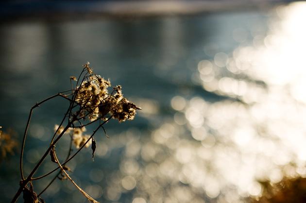 Herbstbild: Verdorrtes Kraut vor der Aare