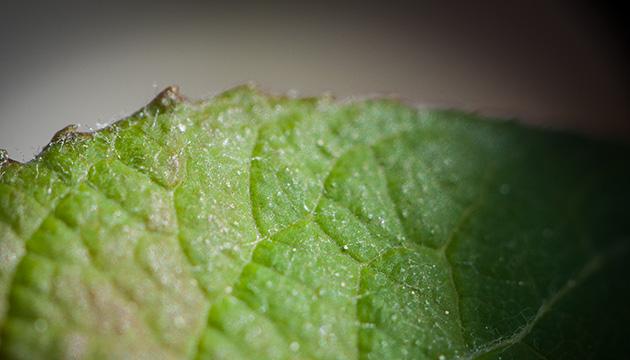 Makro-Fotografie – Beitragsbild mit einer Detailaufnahme eines kleinen Maulbeer-Blattes