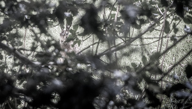 Fotografie – Bergimpressionen. Beitragsbild mit einem Feldhasen hinter einem Stachelbeer-Busch