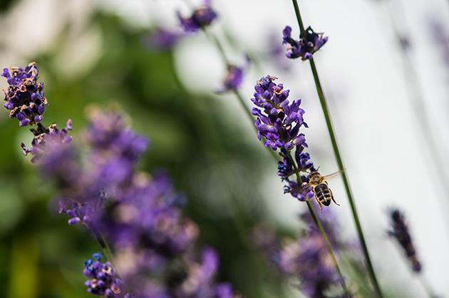 Makroaufnahme von einer Biene im Landeanflug auf eine Lavendel-Blüte