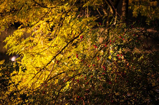 Egelsee Bern, Hagebuttenbusch im Herbst mit reifen Früchten
