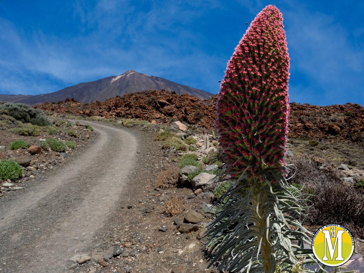 Tajinastes rojos del Teide