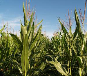 corn-field-cob-zorb-corn-absorbent-products