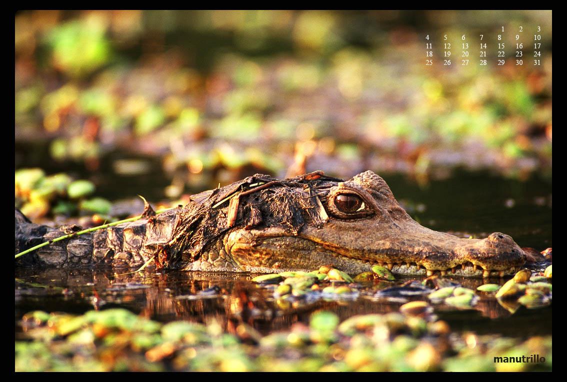 Caimán de anteojos o Baba (Caiman crocodylus).