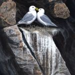 jeremy-paul-kittiwakes