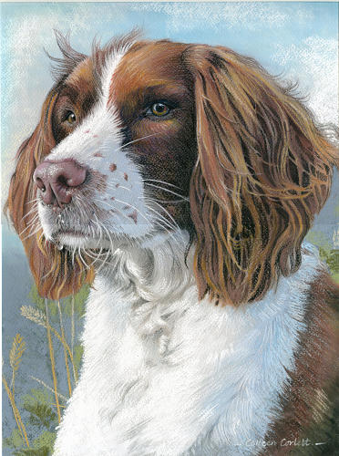 Haka Springer Spaniel - SOLD