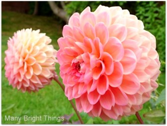 BLUSH-DAHLIAS