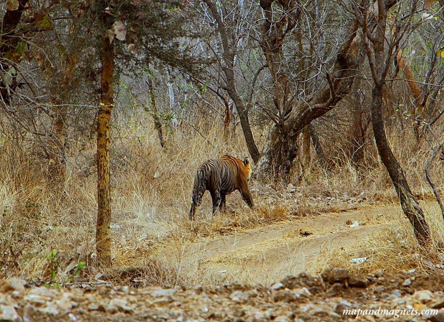 Ranthambore safari tiger after bath