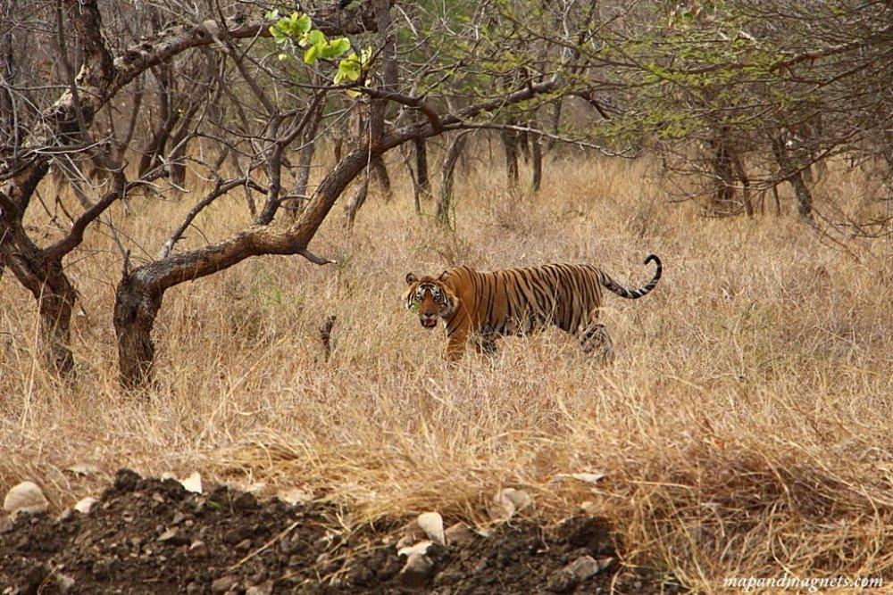 Ranthambore safari tiger in the distance