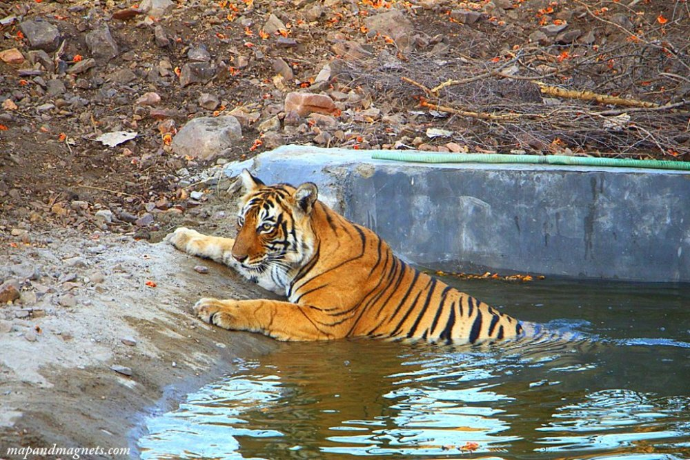 Ranthambore tiger in pool