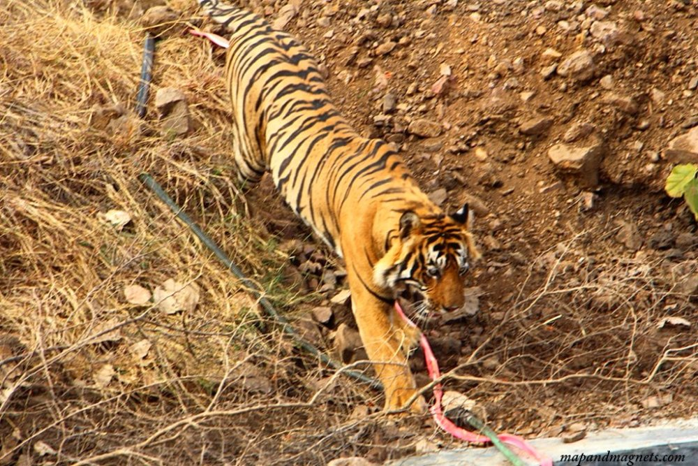 Ranthambore tiger walking