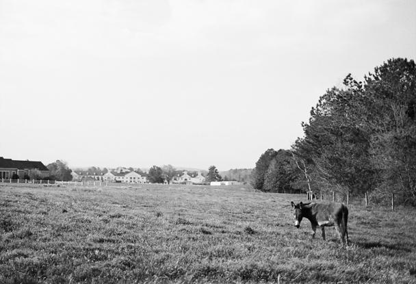 Donkey at Fearrington