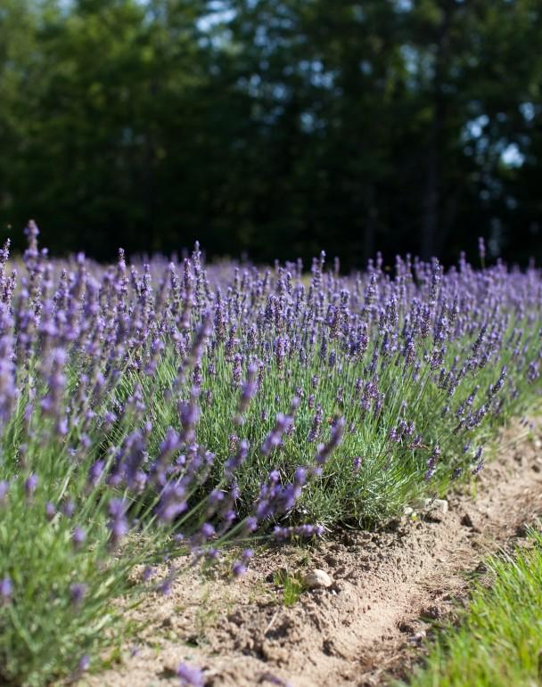 Marianmade Farm Lavender