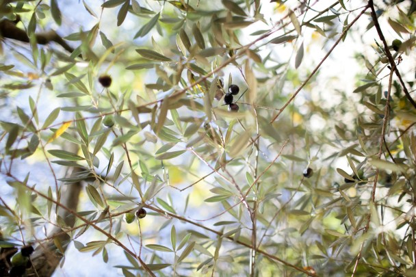 Olive Trees Sonoma