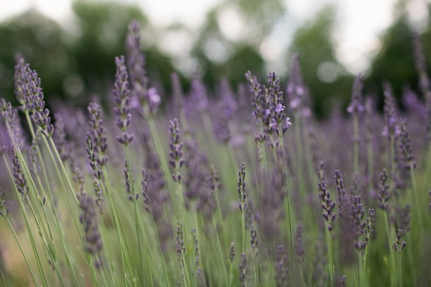Lavender at Marianmade Farm