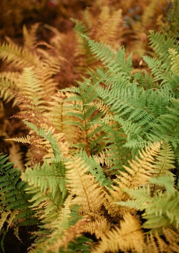 Fall Ferns Maine