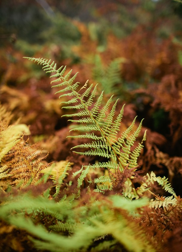 Ferns in the Fall