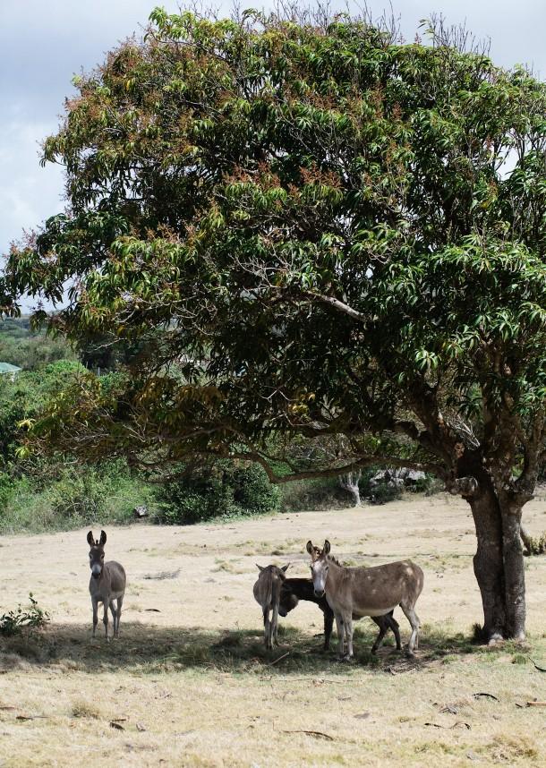 Donkeys on Nevis