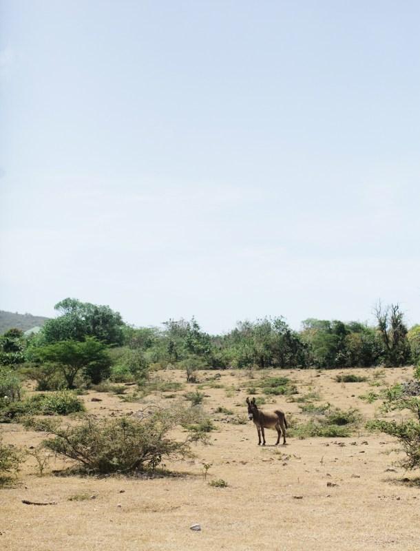 Nevis Donkey