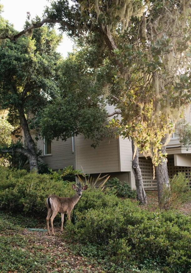 Carmel Valley Ranch Deer