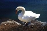 Delightfully large, photogenic swans