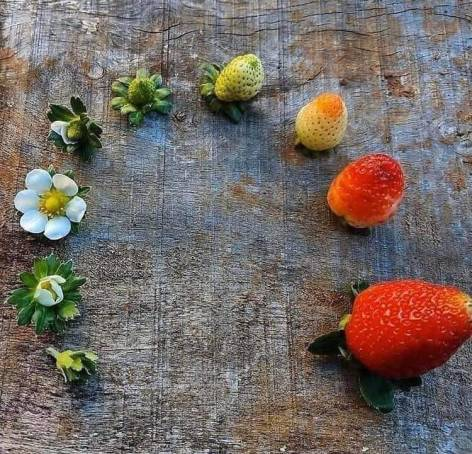 10 bonnes raisons de renoncer à vous battre : le cycle de vie de la fraise