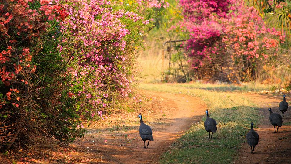 Fowl walking along a farm road in Cullinan. (Martie Swart / Flickr)