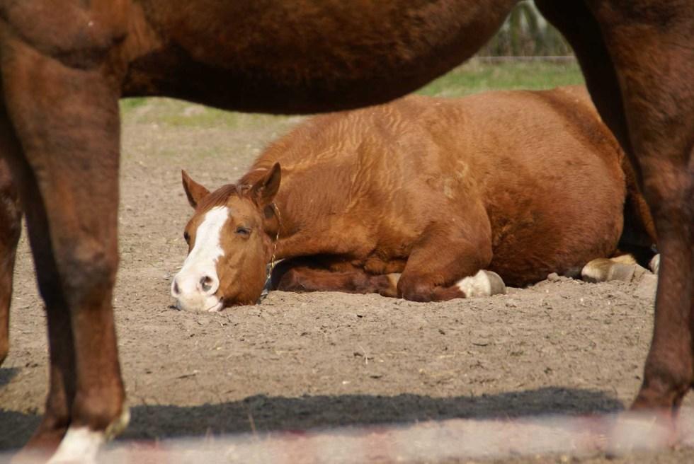Entspanntes Pferd im Offenstall