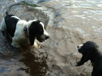 Spaniel water fun