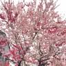 桜 蕾 開花