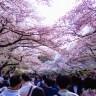 桜 花 上野公園