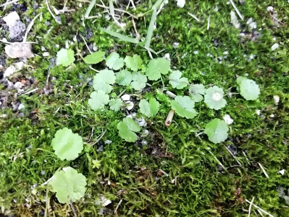 芝生に生えるチドメグサの駆除方法|実に厄介な雑草です。