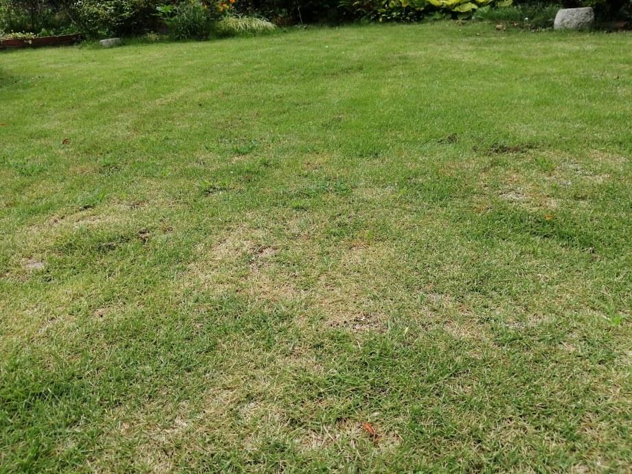 芝生が水不足で枯れた場合の見分け方